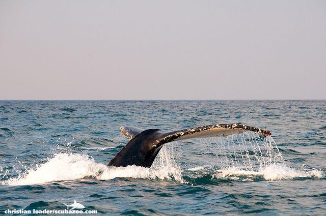 Humpback Whale fluke diving - Sardine Run, South Africa