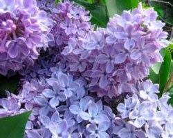planting lilacs around the future house: Favorite Flowers, Lilacs Bush, Favorite Spring, House Of Holland, Flowers Lilacs, Most Beautiful Flowers, Spring Flowers Trees Gardens, Time Flowers, Back Yard