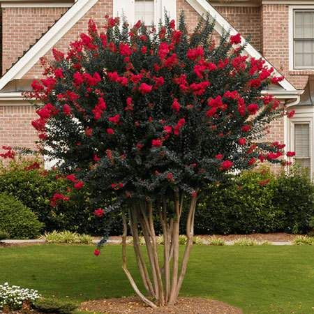 Black Diamonds are Forever Amazing - Give your garden or landscape the brilliance it deserves with the bold beauty only the Black Diamond Red Crape Myrtle can deliver.  The vivid color display will add an awesome elegance that will tantalize the eye. Rich, crimson red blooms surrounded by dark almost pewter colored leaves offer...