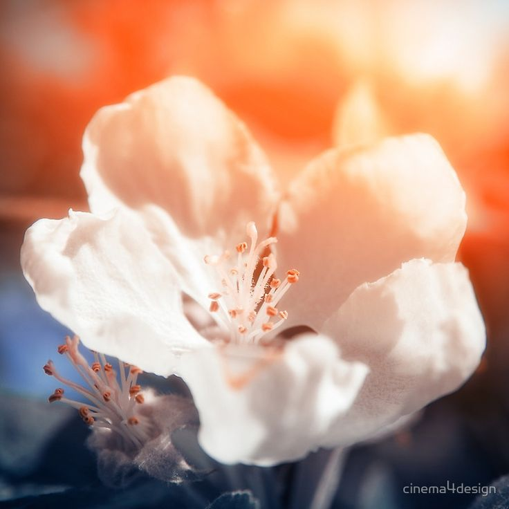 "Blooming Apple Tree, Bloom, Spring Blossom, Spring Photography, Blossoming Garden, Spring Nature, Interior Photo Print, Square Photography From ""Blossom"" photo prints series."