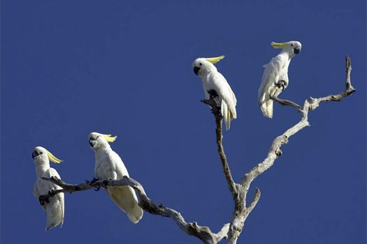 Cockatoos at Bamarru Plains. Photo by Bamurru Plains  www.thekimberleycollection.com.au