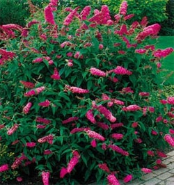 Buddleia - Butterfly Bush - Pink Delight