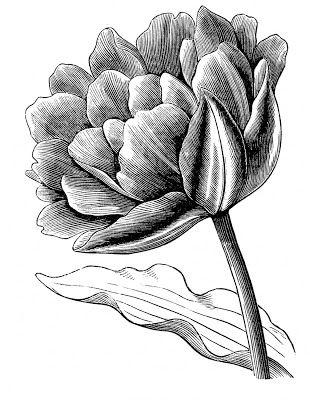 Stock Images - Tulips - Vintage website for finding great vintage images.