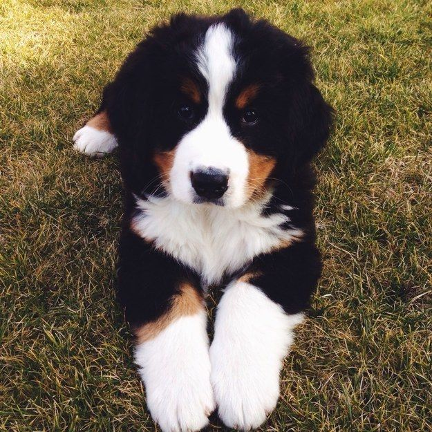 Here's a Bernese mountain dog puppy because if we're being honest they are the…