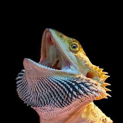 Bearded dragon yawning by 四季 Photography. Looks like he's saying MEHHHHHH XD