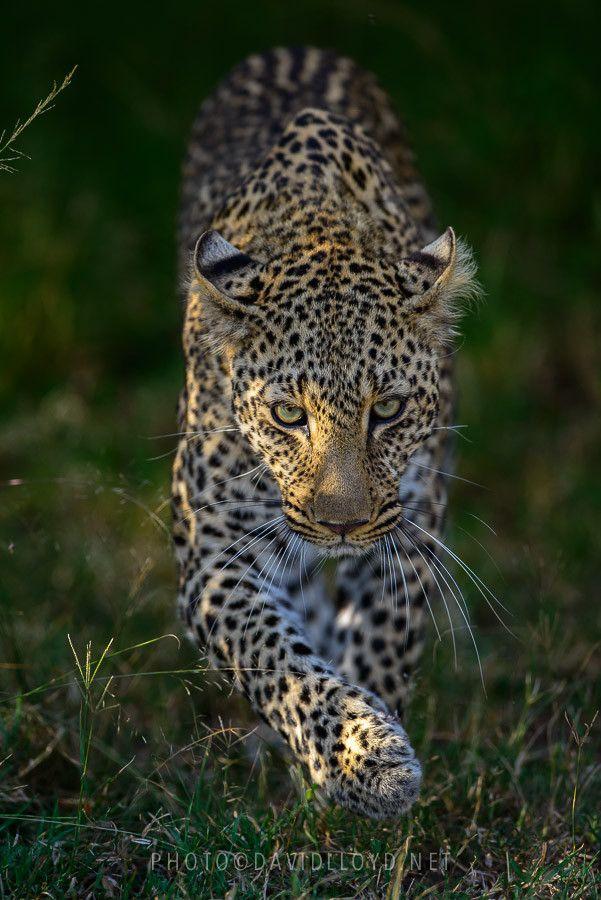Leopard Stalking by David Lloyd, via 500px