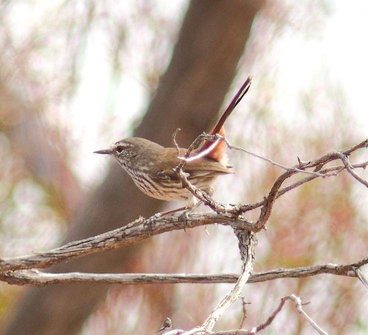 Shy Heathwren, Gluepot Reserve SA. Out for all to see. #birds #birding #birdwatching #birdphotography #nativebirds #