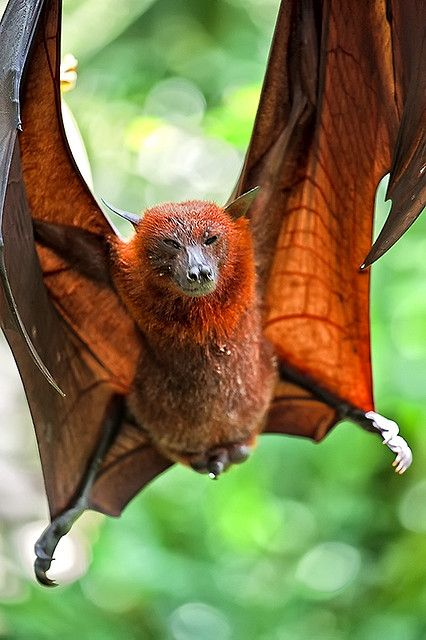 Pteropus  Bats of the genus Pteropus, belonging to the Megachiroptera sub-order, are the largest bats in the world. They are commonly known as the Fruit Bats or Flying Foxes among other numerous colloquial names. They live in the tropics and subtropics of Asia (including the Indian subcontinent), Australia, Indonesia, islands off East Africa (but not the mainland Africa), and a number of remote oceanic islands in both the Indian and Pacific Oceans.