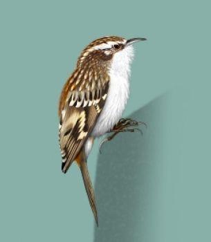 Pełzacz leśny (Certhia familiaris)[261]rodzina: pełzacze  12-13 cm Bardzo podobny do pełzacza ogrodowego. Różni się subtelnymi szczegółami ubarwienia, m. in. układem pasków i plamek na skrzydłach, czysto białym spodem ciała, krótszym dziobem. Najłatwiej rozpoznawalny po dłuższym, melodyjnym trelu z miękkim zakończeniem. Polskie nazwy pełzaczy mylnie sugerują, że ptaki te wymijają się siedliskami występowania, co nie zawsze jest zgodne z prawdą.
