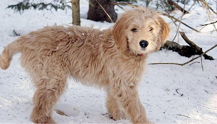 A Goldendoodle is a cross breed between a Golden Retriever and a Poodle. The Goldendoodle takes the best qualities of both of their parts, the gentle Golden Retriever and the loyal Poodle. TheStandard Goldendoodles weighs45-100lbs. Breeding smaller poodles can produce Mini Goldendoodles who range from 30-45lbs. Goldendoodle puppies are known for beinggreat companions who are …