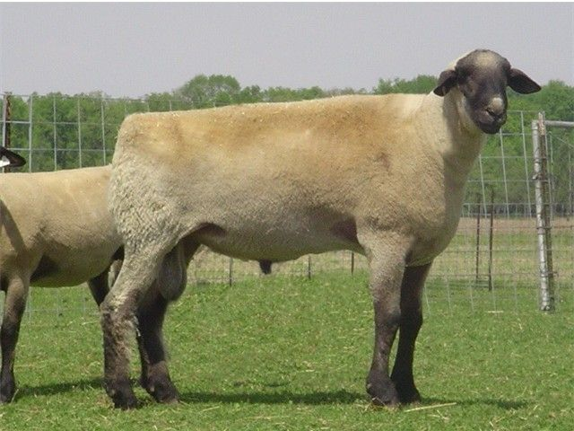 The Hampshire or Hampshire Down is a breed of sheep native to the open, untilled, hilly stretch of land known as the Hampshire Downs (UK). Fleece that is 25-33 micron, staple 5-9 cm.