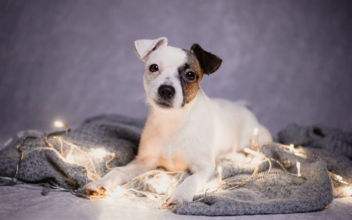 Download wallpapers Jack Russell Terrier, puppy, pets, dogs, cute animals, Jack Russell Terrier Dog