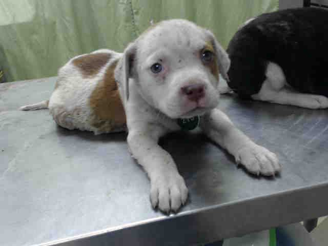 04/10/17- HOUSTON - EXTREMELY URGENT - This DOG - ID#A481128    I am a female, brown and white American Bulldog mix.    The shelter staff think I am about 9 weeks old.    I have been at the shelter since Apr 10, 2017.    This information was refreshed 55 minutes ago and may not represent all of the animals at the Harris County Public Health and Environmental Services.