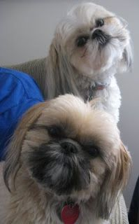 winter jackets on sale for women A Hungry Soul  More Shih Tzu Cuteness