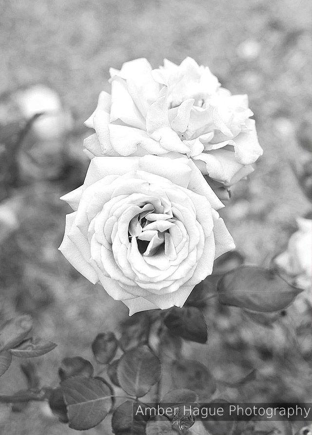Roses from the Sydney Royal Botanical Gardens Australia.