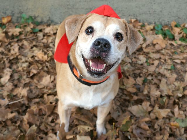 BAMBINI - 11268 - - Manhattan  TO BE DESTROYED 11/07/17 A volunteer writes: Beagles are renowned for their gentle temperament and easy-to-handle ways and our little Bambini is no exception. She's a dream walker on leash, full of smiles and tail wags for every dog or person who approaches and she takes care of her business promptly before nibbling treats softly from my hand then eagerly exploring all the scents of the season as we stroll through the park. But don&#8217