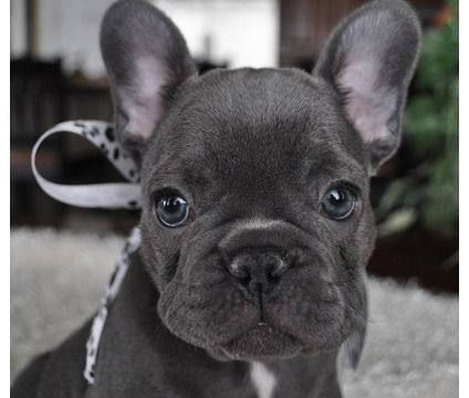 boston terrier french bulldog mix for sale 53 best french bulldog boston terrier mix images on 957