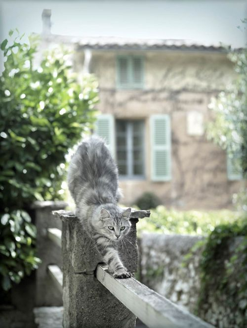 French kitty.