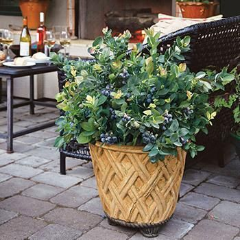 Blueberry Bushes for Sale | Fast Growing Trees