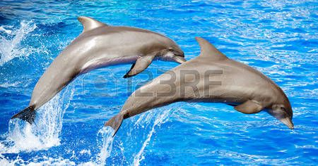 dolphin: Two dolphins jumping in clear blue sea.