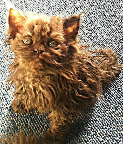 SELKIRK REX. So friggin cute! This cat has hair like mine :D