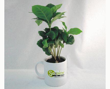 Caféier en Mug en image