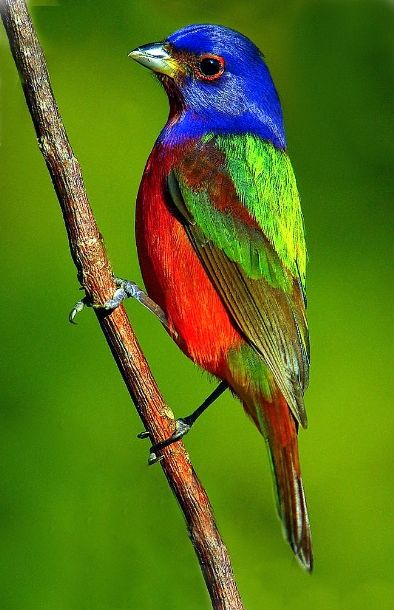 Painted Bunting                                                                                                                                                     More