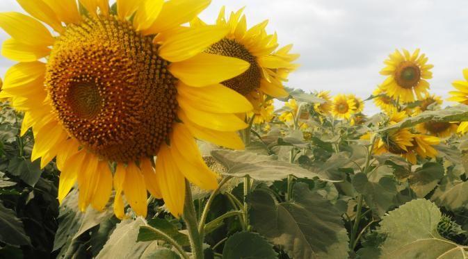5 Macam Bunga yang Baik Buat Kesehatan - http://wp.me/p70qx9-7Ew