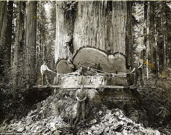 California lumberjacks working on Redwoods
