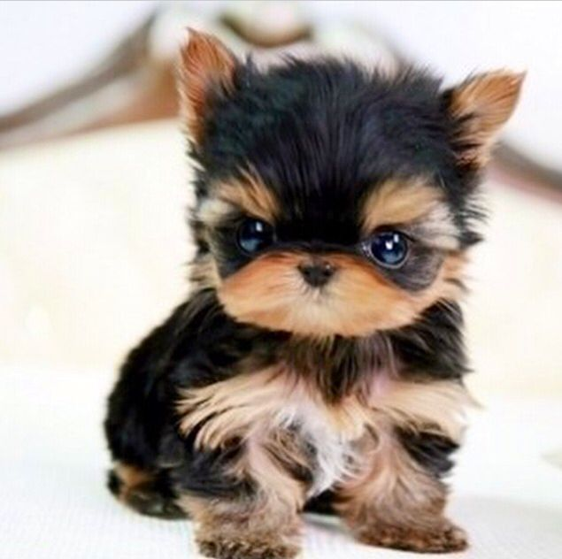 i'm having a heart attack because I'm looking at teacup Yorkies and they're so cute