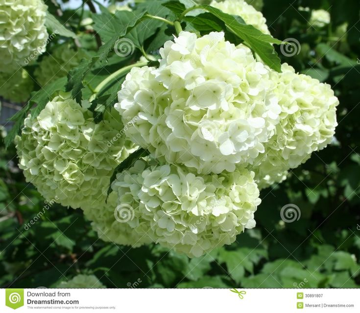 White rose with ball form