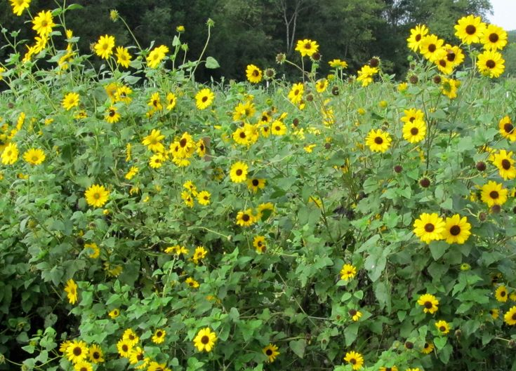 Amazing Sunflower Garden Ideas Back Yard Garden 2014 Beach Sunflower Cucumber Leaf  Sunflower 1 G Cucumbersunflowersgarden Ideas