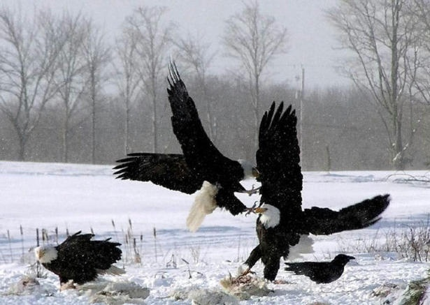 There is an Eagle watch every year in Sheffield Mills, Annapolis Valley, Nova Scotia