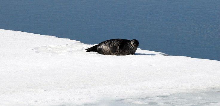 http://www.kalastakalajoella.fi/ #kalajoki #sea #nature #seal #finland #winter