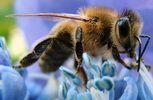 الأعشاب الطبية المغربية: العسل يقتل البكتريا العنيدة