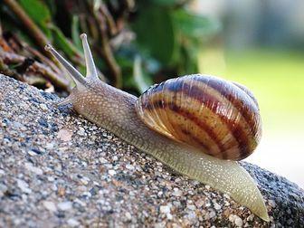 Un escargot (Helix aspersa). (définition réelle 1 024 × 768 *)