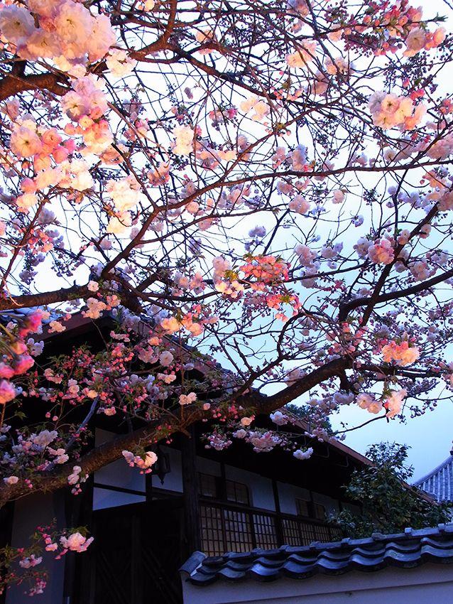 寿聖院の八重桜