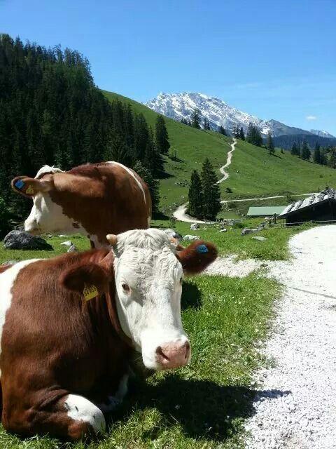 Auf der Königsbachalm am Jenner im Berchtesgadener Land #Bayern #Bavaria #Alpen