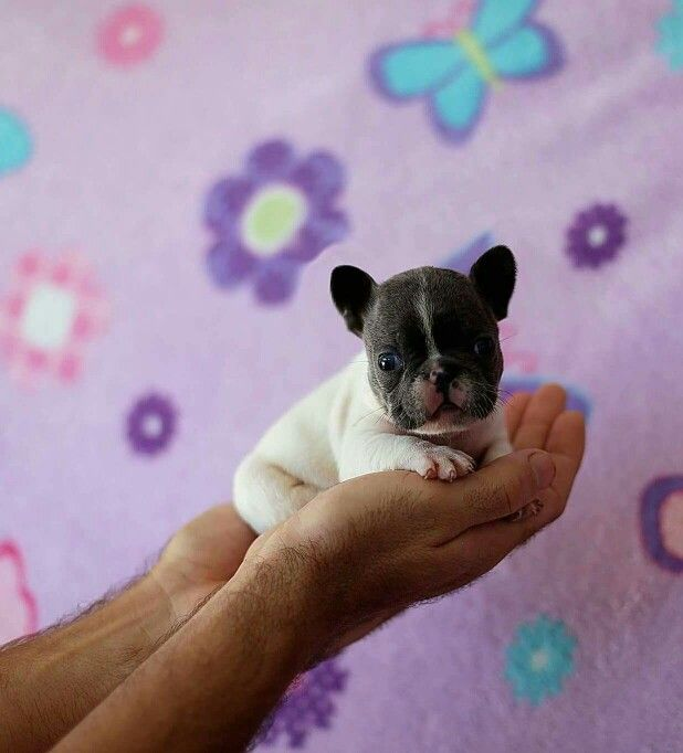 Tiny baby frenchie, Teacup French Bulldog Puppy