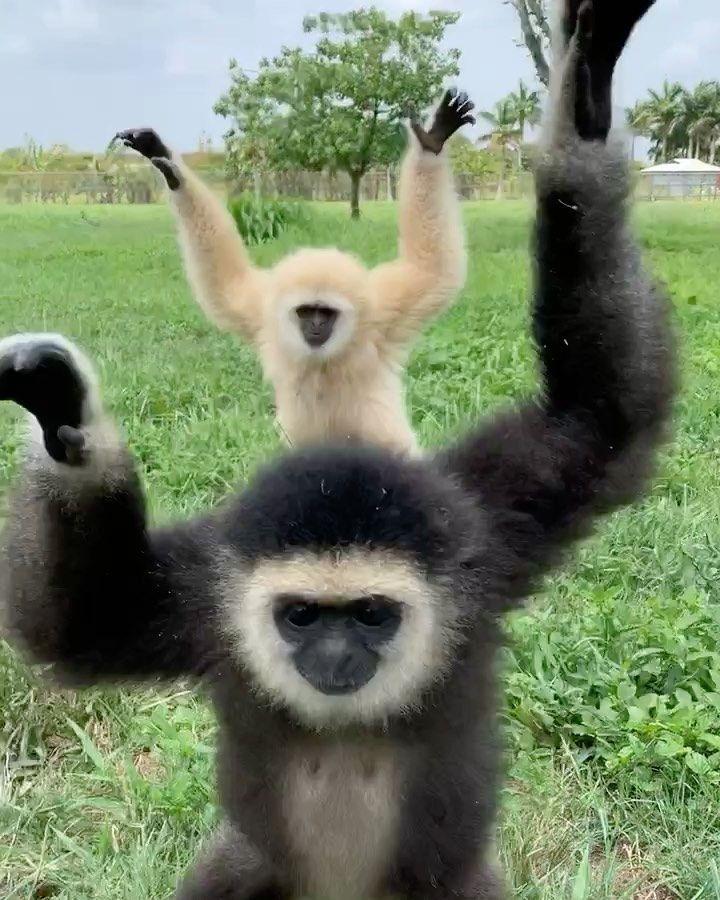 Zoological Wildlife Foundation S Instagram Profile Post Follow Us On Tiktok Zwfmiami Show Us Your Gibbon Walk Gwc Wildlife Foundation Gibbon Wildlife