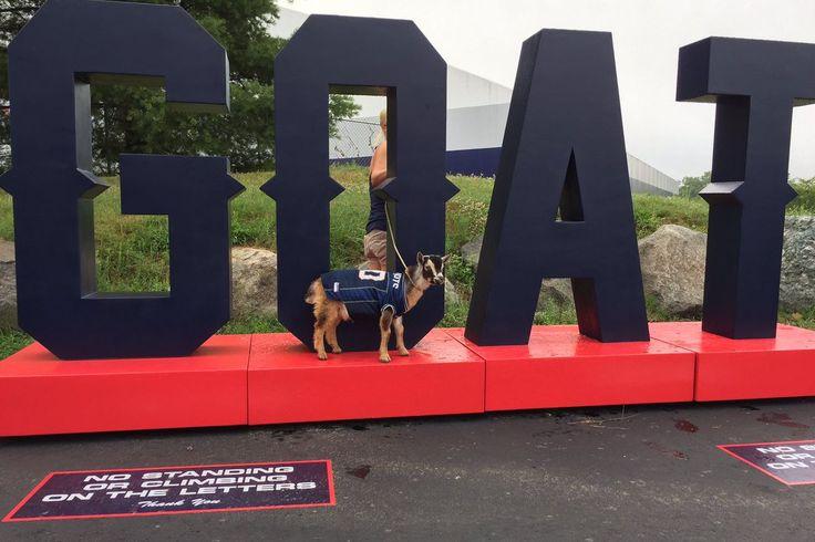 Patriotas celebra Tom Brady cumpleaños con REAL CABRAS en el campo de entrenamiento