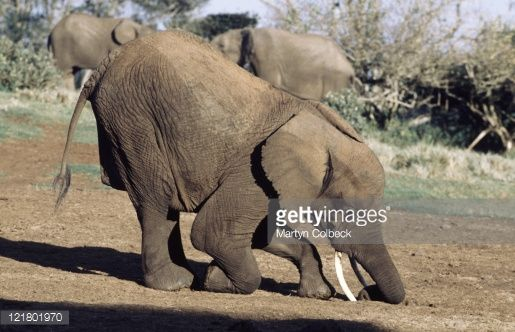 121801970-african-elephant-digging-for-salts-aberdare-gettyimages.jpg (515×332)