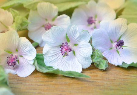 Altea (Althaea officinalis): Proprietà e Benefici via @mrloto