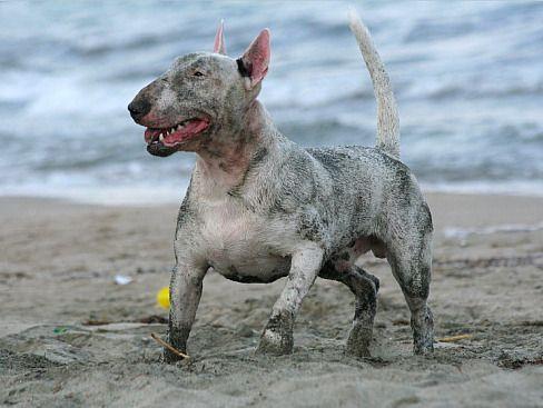 english bull terrier having a run in the sand near the sea
