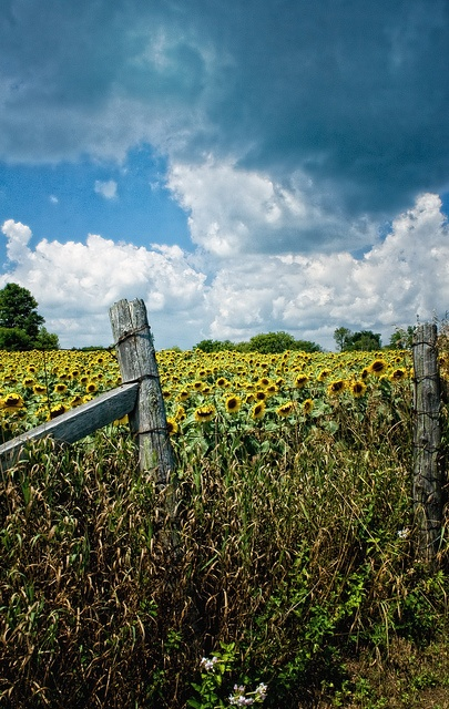 Sunflower field, Strabane, near Hamilton, Ontario
