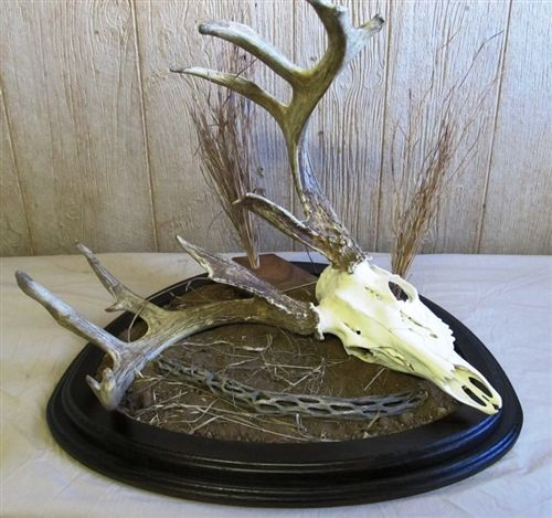 Deer Euro mount habitat base. Considering this for one of my nice whitetail Euro mounts.