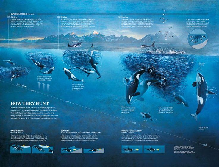 Juli 2015: Jagdmethoden von Orcas - ein Schaubild erzählt die Geschichte einer...