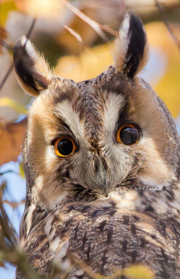 Long eared owl portrait.