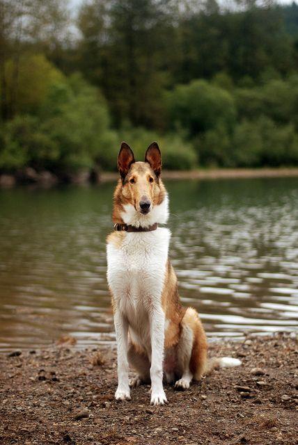 Collie. By Katie McLellan. IT LOOKS LIKE MY OLD DOG, LAD!