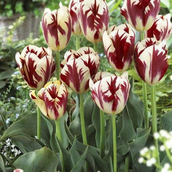 Tulip Đại Perfection - Longfield Gardens